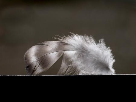 villus: one little feather of the bird on dark background