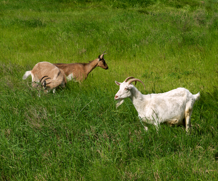 grazer: pets goats grazed on a meadow on green grass