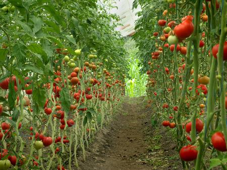 invernadero: cosecha de maduración de los tomates en un invernadero