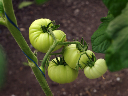 growing inside: bunch of green tomatoes growing inside a hothouse Stock Photo