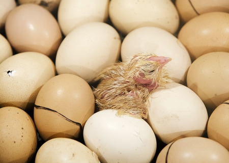hatchery: the chick on the yellow eggs in the incubator