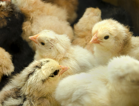 hatched: a few yellow of fluffy newly hatched chicks Stock Photo