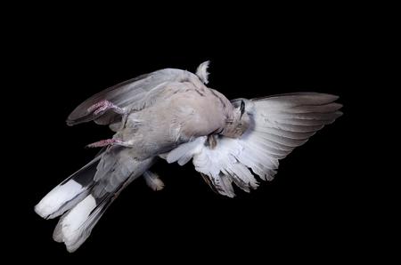 pecker: dead bird - a turtledove on a black background