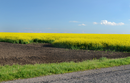 spring flowering of rapeseed, sunlit and blue sky Stock Photo