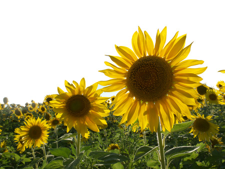 yellows: large bright yellows sunflowers in a field, lit by sunlight
