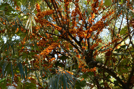 argousier: branches of sea-buckthorn (Hippóphaë rhamnoídes) with ripe fruits lighted by the sun Banque d'images