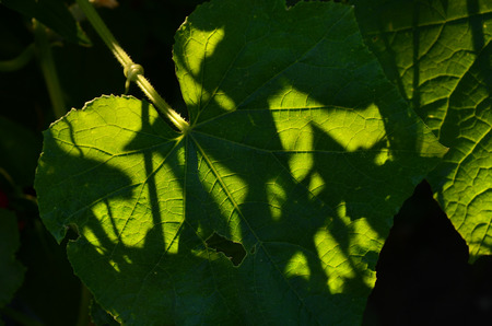 villus: green grape leaf, unusual lighting and shadow