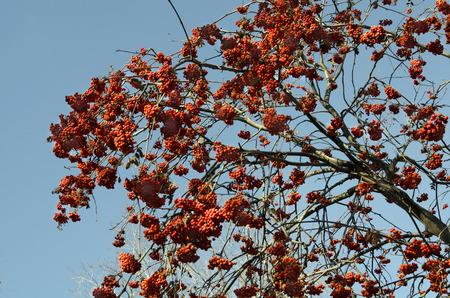 rowanberry: a lot of rowan berries on a background of blue sky