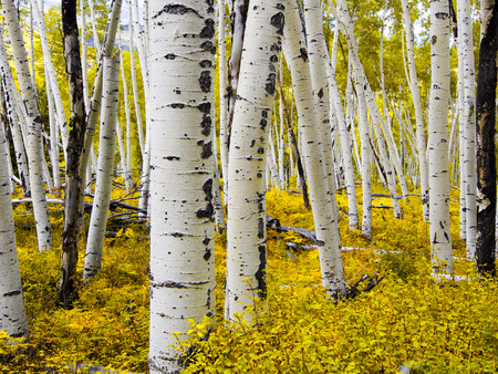 ouray: Aspen Forest - Colorado
