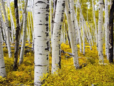 aspen leaf: Aspen Forest - Colorado