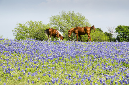 ranch background: Horse on Pasture - Blue Bonnets