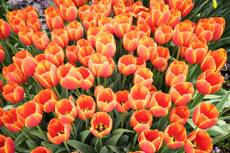 stock photo   tulip: Red Tulips In The Garden