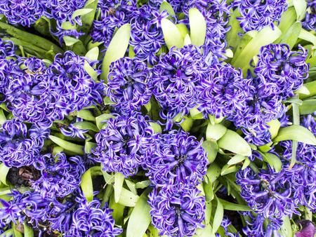 hyacinthus: Hyacinthus Orientalis Foto de archivo