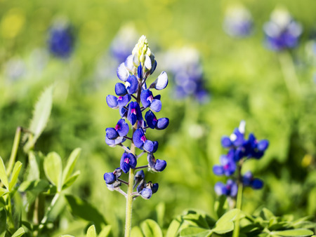 Texas Blue Bonnets photo