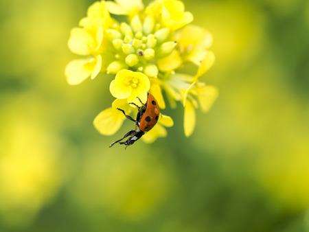 lady bug: Yummy - closeup to a red lady bug