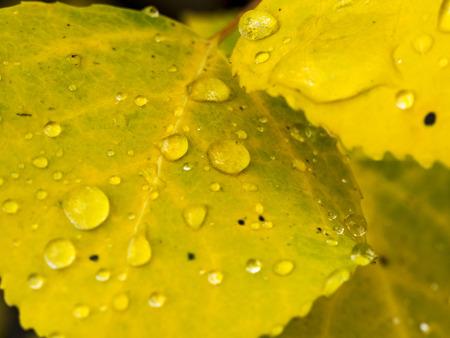 aspen leaf: Aspen Leaf Close Up - Water Drop Stock Photo
