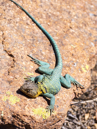 desert lizard: Lizard On The Rock