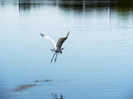 Flying  white heron on the lake