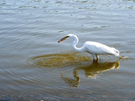 wetland conservation: Capture  White Heron closeup