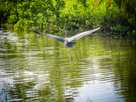 chilika: Egret in Flight Stock Photo