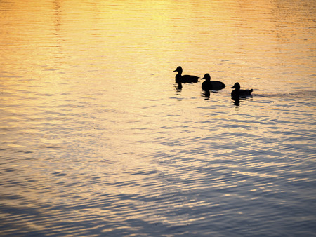 mated: Duck in Pond - Sunset Stock Photo