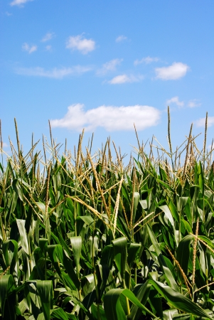 Corn Field on a Sunny Day Foto de archivo