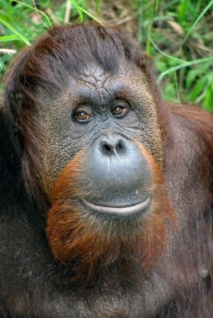 Friendly orangutan at the national zoo in dc photo