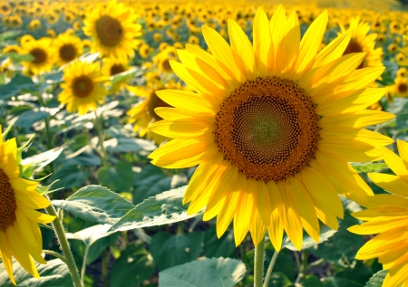 Sunflower field in Maryland at Sunset 스톡 콘텐츠