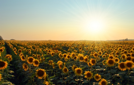 A gorgeous Sunflower field at sunset on a summer day