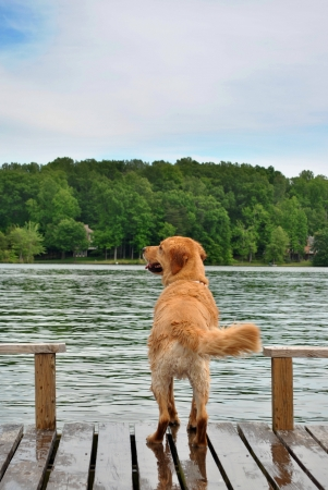 Golden Retriever Dog looking out over water 스톡 콘텐츠