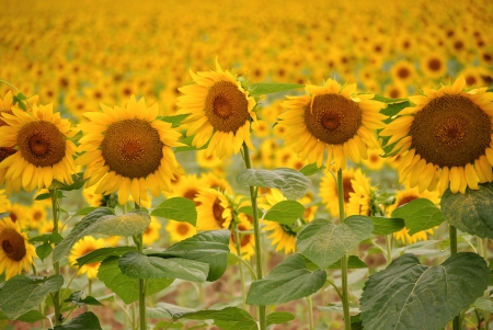 A row of sunflowers in front of a field photo