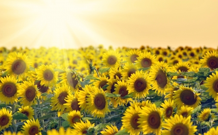 Sunflower field in Maryland at Sunset Stock Photo