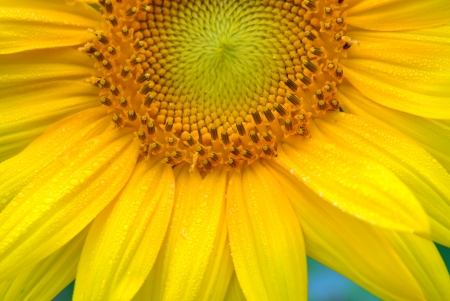 A close up of a gorgeous summertime sunflower