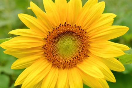 A Close Up of a Sunflower with condensation Stock Photo - 15074061