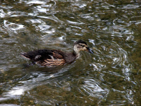 Duckling Swimming Upstream photo
