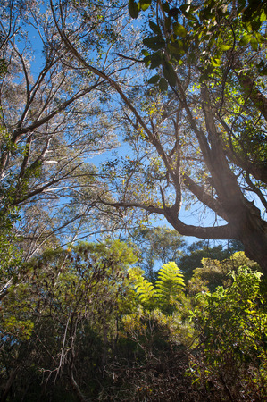 eucalyptus forest with blue sky above