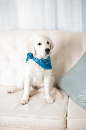 Adorable white retriever puppy with blue scarf sitting on sofa Reklamní fotografie