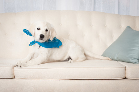 Cute white retriever puppy with blue scarf sitting on sofa