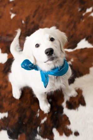 Cute white retriever puppy wearing blue scarf Reklamní fotografie