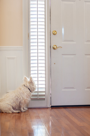 front house: white dog waiting by the front door Stock Photo
