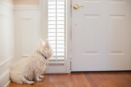 perro blanco esperando en la puerta frontal