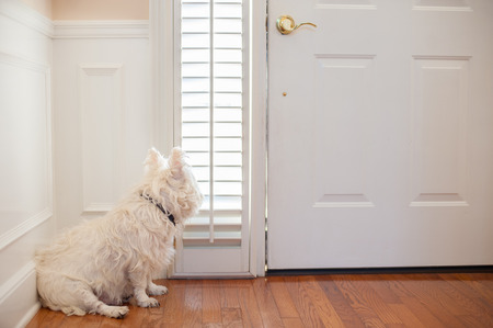abandoned house: white dog waiting by the front door Stock Photo