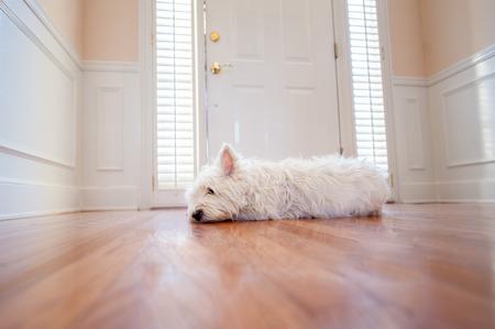 sols: chien blanc couch� pr�s de la porte d'entr�e