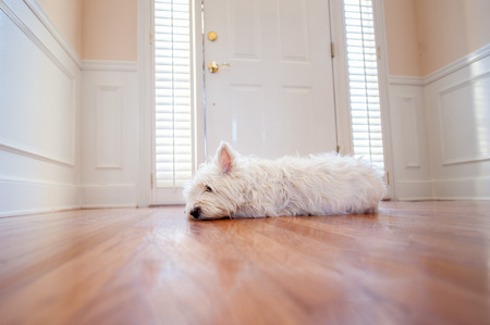 white dog lying by the front door