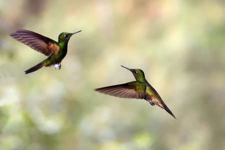 Humming Birds in rainforest in Ecuador
