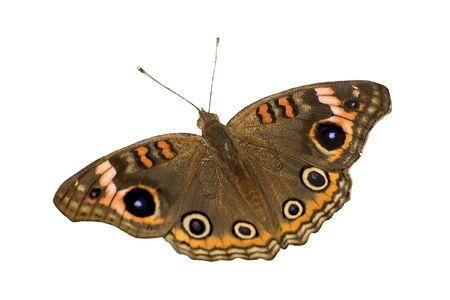 Buckeye Butterfly on White Background Stock Photo