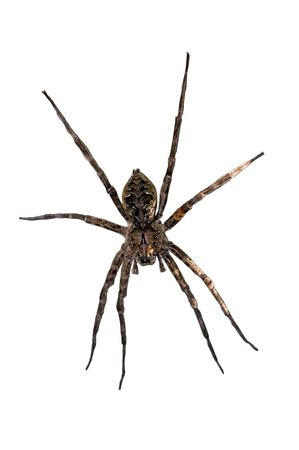 hairy legs: Spider On White Background