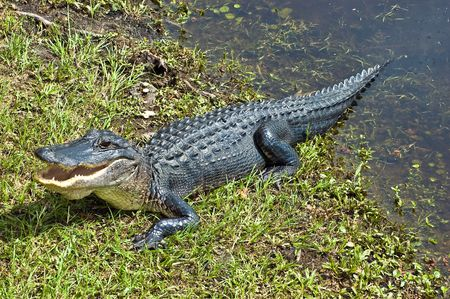 Alligator Warning