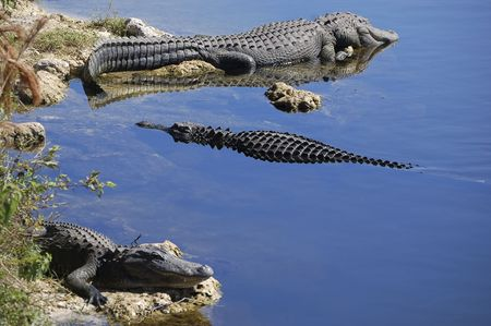 Alligators in the Florida Everglades photo