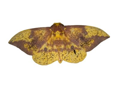 Tallahassee: Imperial Moth on White Background